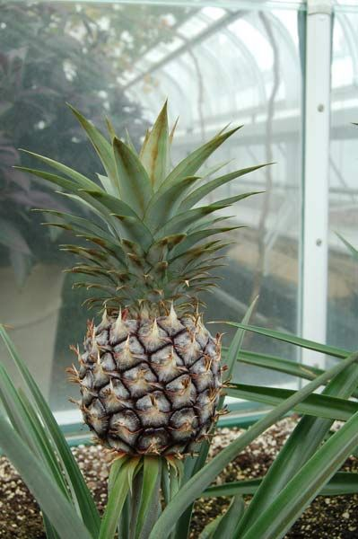 pineapple plant care instructions