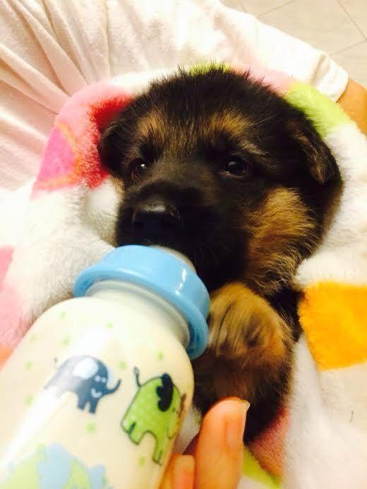 bottle feeding puppies instructions