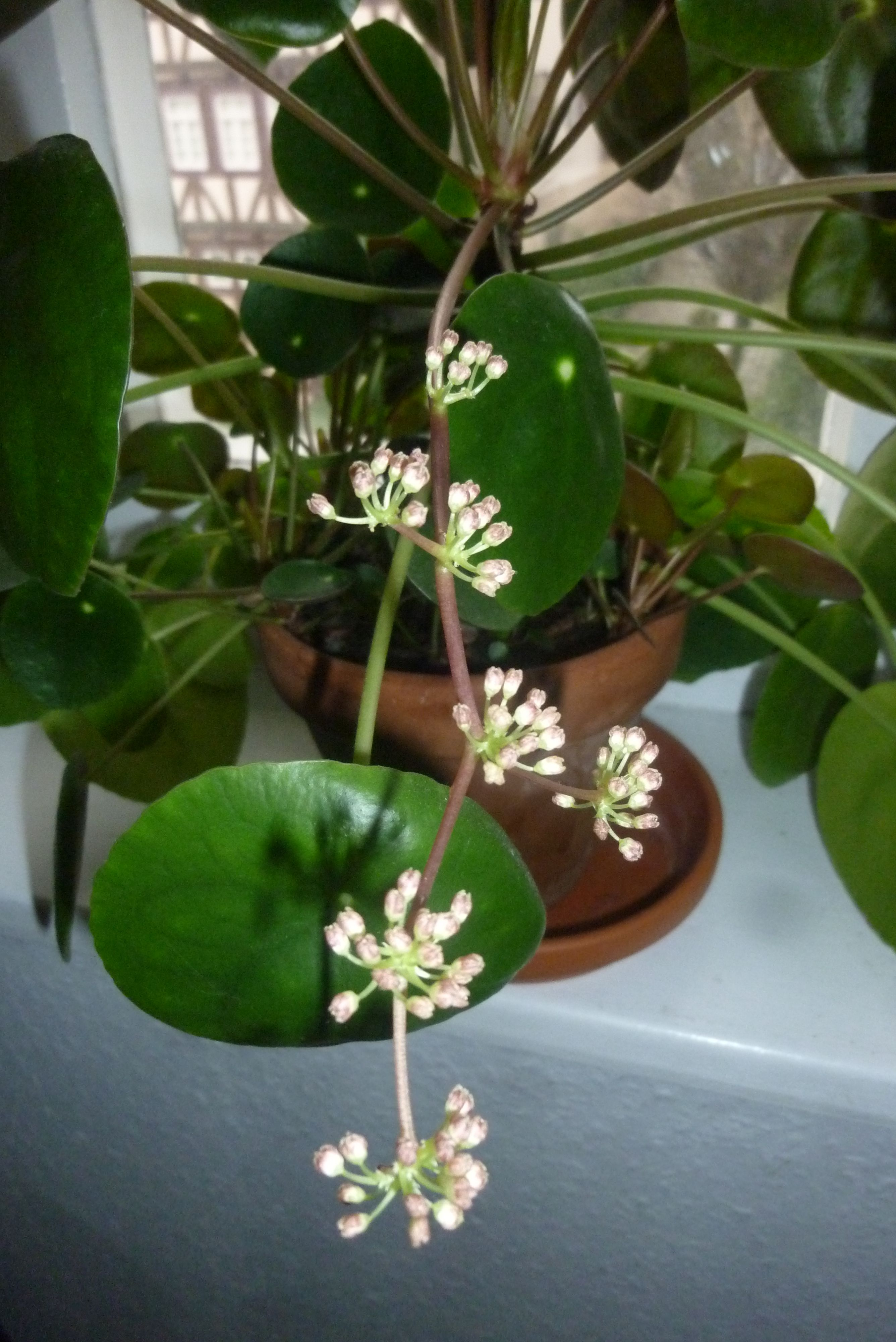 brighamia insignis care instructions