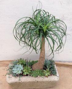 ponytail plant care instructions