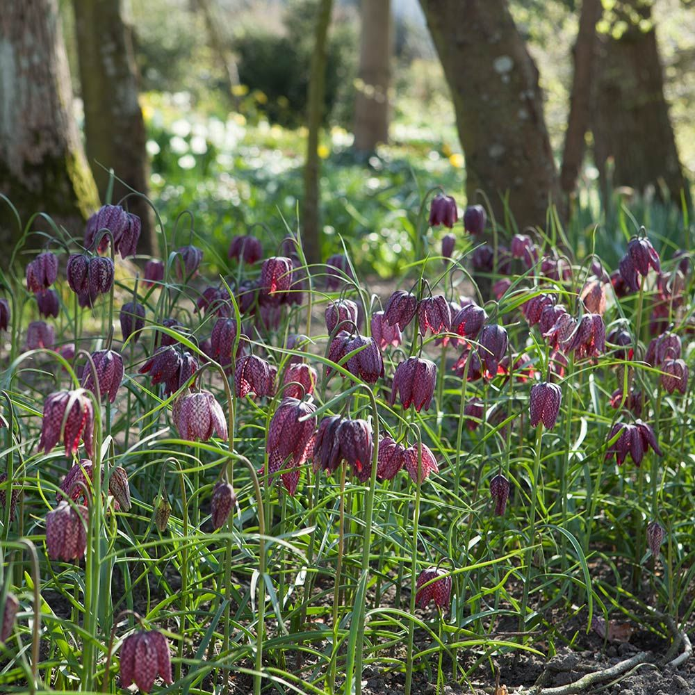 fritillaria meleagris planting instructions